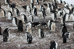 Wild chinstrap penguin Stock Photography