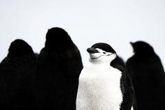 Wild chinstrap penguin Royalty Free Stock Image