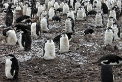 Wild chinstrap penguin Royalty Free Stock Photo