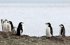 Wild chinstrap penguins, Antarctica Royalty Free Stock Photography
