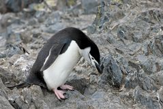Wild chinstrap penguins, Antarctica Royalty Free Stock Images