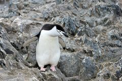 Wild chinstrap penguins, Antarctica Stock Photo
