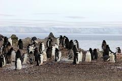 Wild chinstrap penguins, Antarctica royalty free stock photos