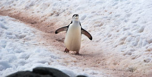 Wild Chinstrap Penguins in Antarctica Stock Photos
