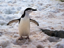 Wild Chinstrap Penguins in Antarctica Royalty Free Stock Photo
