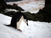 Wild Chinstrap Penguins in Antarctica Stock Image