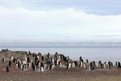 Wild chinstrap penguins, Antarctica Stock Images