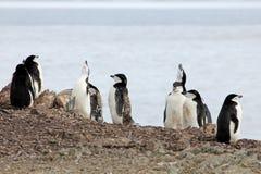 Wild chinstrap penguins, Antarctica Royalty Free Stock Photo