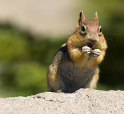 Wild Golden Mantled Ground Squirrel Cascade Range Stock Image