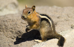 Wildlife Wild Chipmunk Mouth Full Nuts Fruit Stock Images
