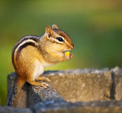 Wild chipmunk eating nut Stock Photo