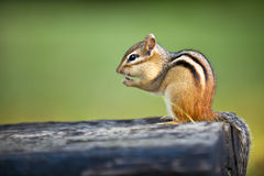 Wild Chipmunk Eating Nut Royalty Free Stock Photos