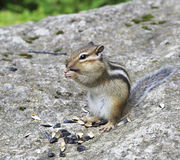 Wild chipmunk eats seeds. Stock Photos