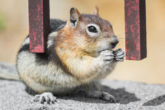 Wild chipmunk feeding. Wild chipmunk sitting down eating a brazil nut holding it with both hands Royalty Free Stock Images