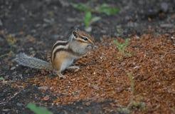 Wild Chipmunk Stock Photos