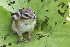 Wild chipmunk in Hokkaido, Japan Royalty Free Stock Photo