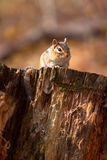 Wild Chipmunk On Log. In Wisconsin Royalty Free Stock Image
