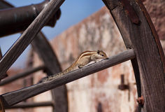 Wild chipmunk on piece of wooden wheel Royalty Free Stock Photography