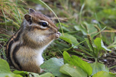 Wild chipmunk sitting on grass eating peanut Royalty Free Stock Image
