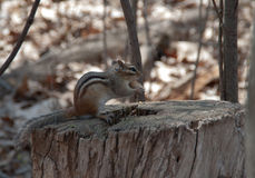 Wild chipmunk Stock Image