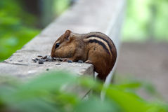 Wild chipmunk Stock Photography