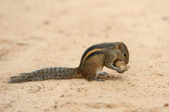 Wild chipmunk Stock Photos