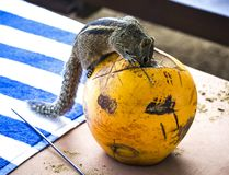 Wild chipmunk. Sri Lanka. Wild chipmunk sitting on a pumpkin on the table in the house Royalty Free Stock Photo
