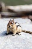 Wild Chipmunk (Tamias Striatus) Stock Image