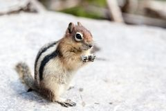 Wild Chipmunk (Tamias Striatus) Royalty Free Stock Image