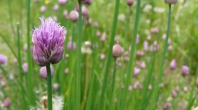 Wild Chives. A large patch of wild chives with focus on a single purple flower, just opening up Royalty Free Stock Photos