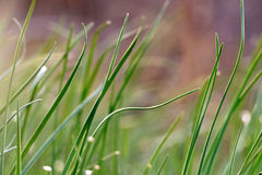 Wild chives Royalty Free Stock Photography