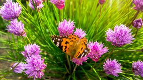 Wild Chives and Painted lady orange butterfly. Vanessa cardui, Nymphalidae or Painted lady close up on Chives. Painted. Wild Chives and Painted lady orange stock image