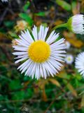 A chrisanthemum. It is a wild chrisanthemum, a very simple and pretty flower. It is a symbol of happiness and prosperity. It blooms in the fall Stock Photo
