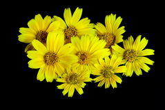 Wild Chrysanthemum Stock Photo