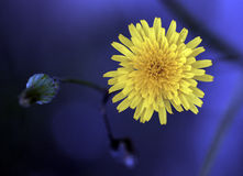 Wild Chrysanthemum. Set against a blue background Royalty Free Stock Photography
