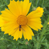 wild chrysanthemum Arkivfoton