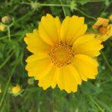 wild chrysanthemum Royaltyfria Bilder