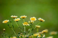 wild chrysanthemum Arkivbilder