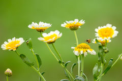 wild chrysanthemum Arkivfoto