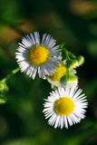 Wild Chrysanthemum Stock Images
