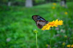 Wild chrysanthemum and butterfly. Butterfly in Yellow chrysanthemum in full bloom Royalty Free Stock Photography