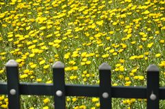 Wild Chrysanthemum  and the fence. Royalty Free Stock Image