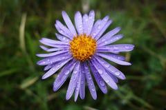 Wild chrysanthemum flowers wih water drops Royalty Free Stock Images