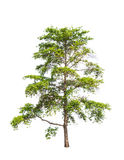 Wild Cinchona tree (Anthocephalus chinensis) Royalty Free Stock Image
