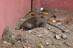 Wild city rat near a hole royalty free stock photos