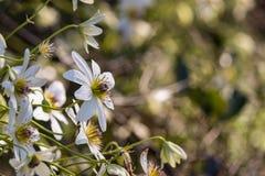 Wild clematis flowers Stock Photo