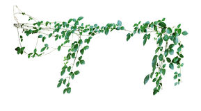 Wild climbing vine, Cayratia trifolia (Linn.) Domin. isolated on. White background, clipping path included Royalty Free Stock Photo