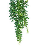 Wild climbing vine, Cayratia trifolia (Linn.) Domin. isolated on. White background, clipping path included. Hanging branches of jungle vines Stock Photos
