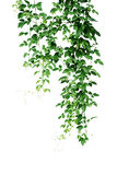 Wild climbing vine, Cayratia trifolia Linn. Domin. liana plant. Isolated on white background, clipping path included. Hanging branches of jungle vines royalty free stock photo