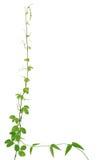 Wild climbing vine, Cayratia trifolia (Linn.) Domin. isolated on Royalty Free Stock Photography